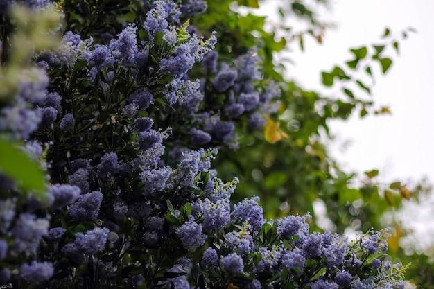 Фиолетовые цветущие сиреневые цветы на открытом воздухе в весеннее время.