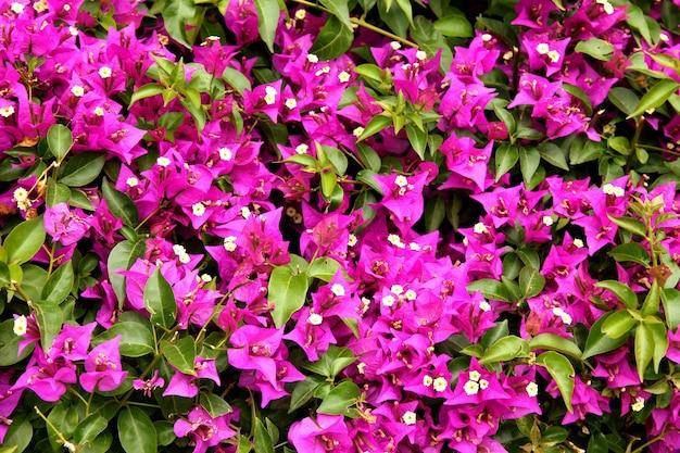 紫色のブーゲンビリアの花のクローズアップ