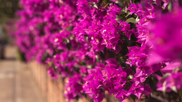 Purple bougainvillea flowers in the outdoor, concept of nature background