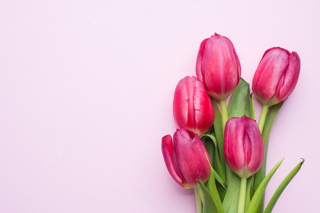 Purple bright tulips on pink background with copy space.