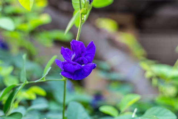 Purple butterfly pea flower blooming, close up with green leave background.