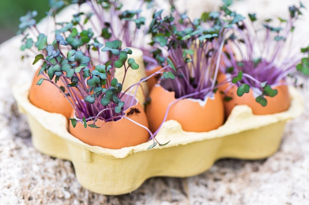 Purple cabbage in egg shells. red cabbage, fresh sprouts and young leaves. vegetable and microgreen. gardening concept.