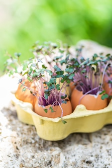 Purple cabbage in eggs shell. red cabbage, fresh sprouts and young leaves. vegetable and microgreen. gardening concept.