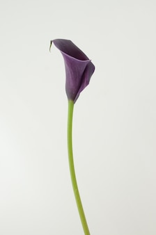 Purple calla lily flower on a white isolated background