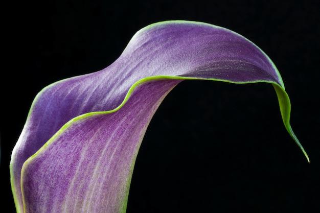 Фиолетовая калла лилия