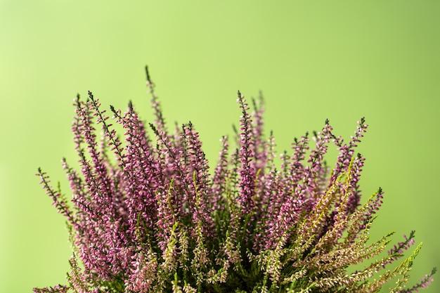 Purple calluna vulgaris plant with flowers