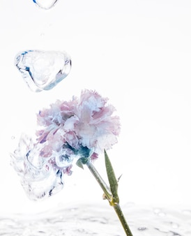 Purple carnation falling into water