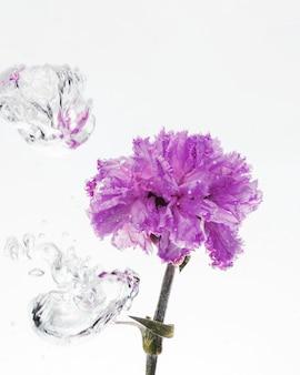 Purple carnation falling into water
