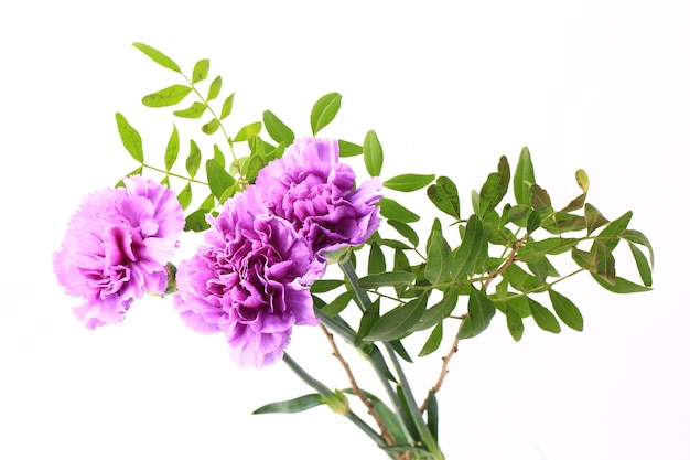 Purple carnation on a white background