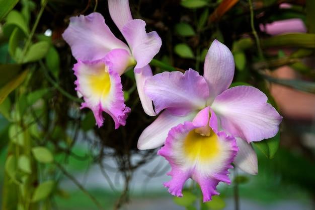 庭の紫色のカトレア蘭