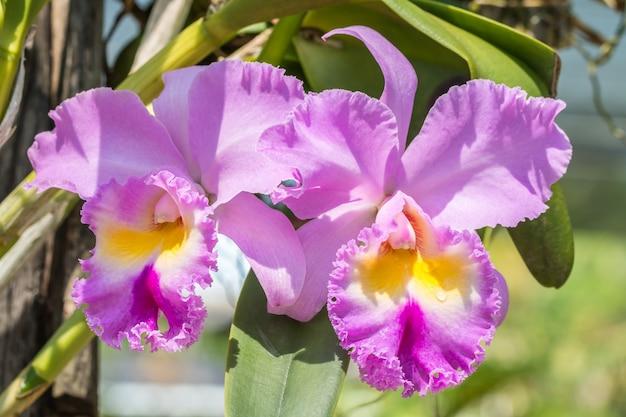 明るい日差しで、柔らかいぼやけたスタイルの紫カトレア蘭。