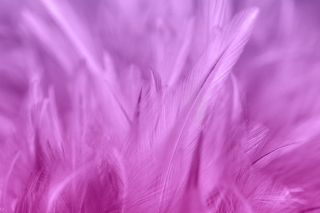 Purple chicken feathers in soft and blur style for background