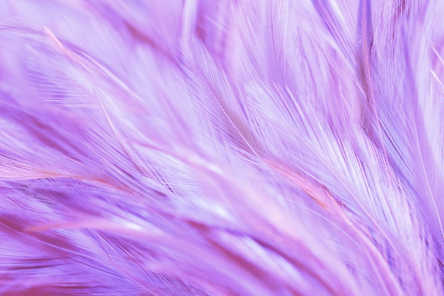 Purple chicken feathers in soft and blur style for background Premium Photo