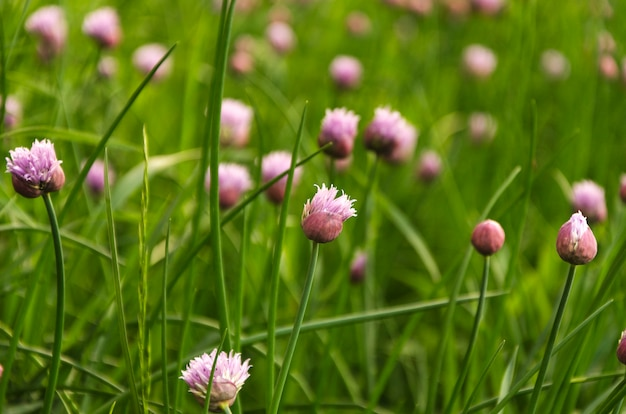 Purple chives flowers in green grass