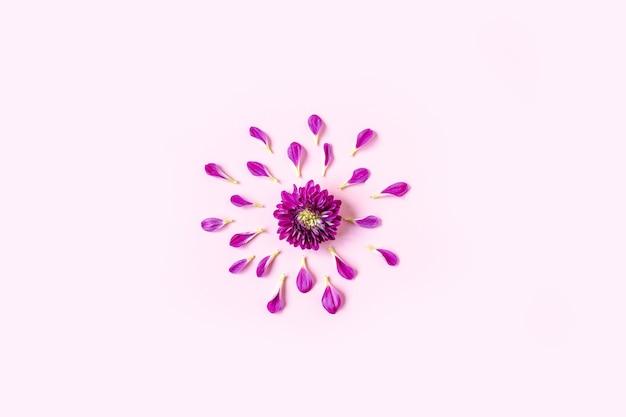 Фиолетовая хризантема лежит в центре на пастельно-розовом фоне с розовыми лепестками, лежащими вокруг хризантемы