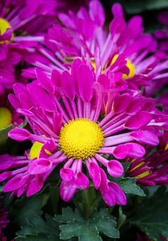 Purple chrysanthemums daisy flower