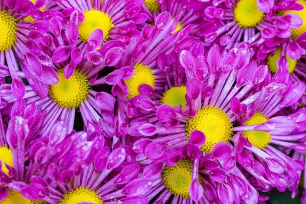 Purple chrysanthemums flower in the garden