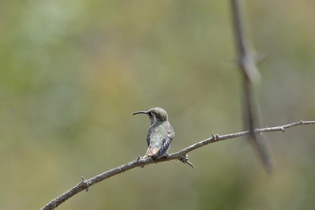 オウギオハチドリ