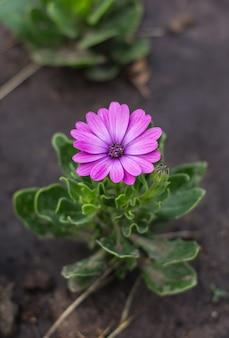 공원 osteospermum 꽃의 화단에 보라색