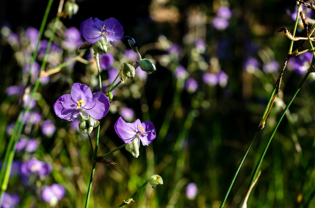 Purple color tradescantia or spiderworts flower.