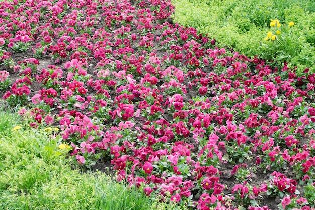 紫色のパンジーのクローズアップ。ビオラの花と花壇