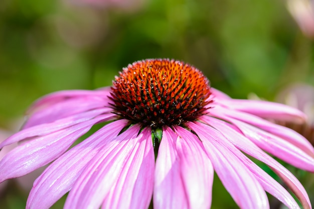 Purple coneflower (echinacea purpurea) a popular plant for attracting the honey bee
