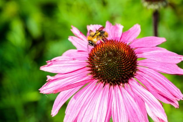Purple coneflower (echinacea purpurea) a popular plant for attracting the honey bee