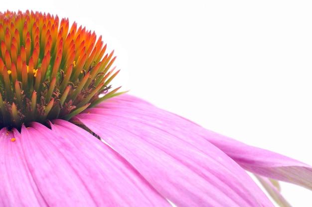 Purple coneflower echinacea