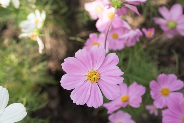 Purple cosmos flower blosson in garden