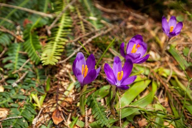 雪、森、自然、美しさ、クロッカス、紫、春、サフラン、花の春の森に咲いた紫のクロッカス
