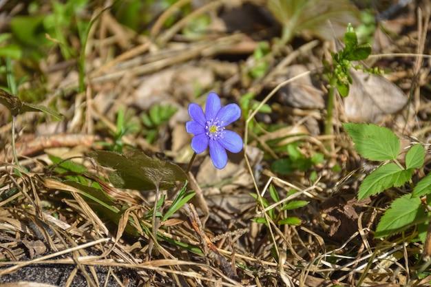 Purple crocus flower closeup in dry grass, lonely flower