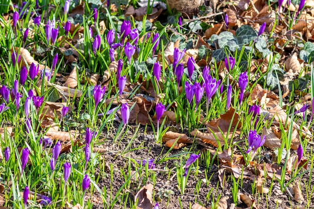 Purple crocus flowers in early spring in a local park