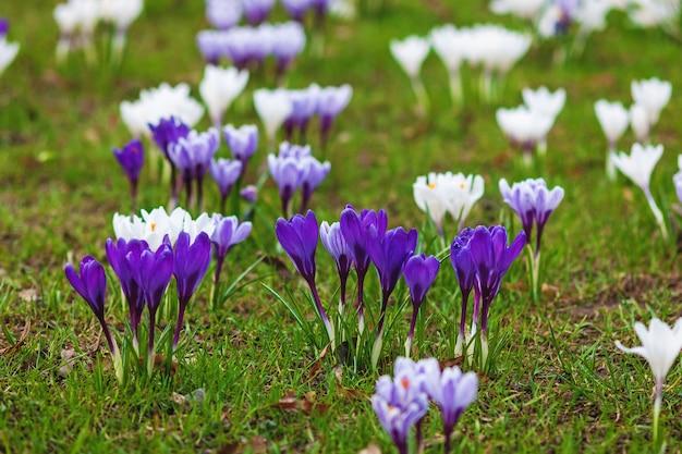 春先の緑の芝生に紫色のクロッカスの花