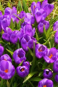 Purple crocus flowers in spring time