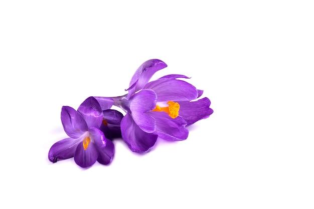 白い背景の上の紫色のクロッカス新鮮な春の花