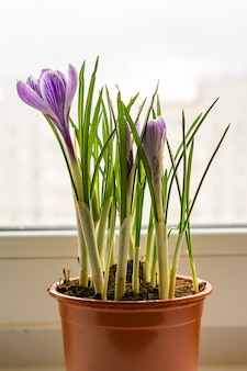 Purple crocuses in plastic pot on window sill. spring flowers, domestic gardening