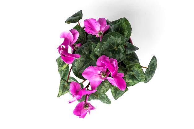 白い背景で隔離の紫色のシクラメンの花。