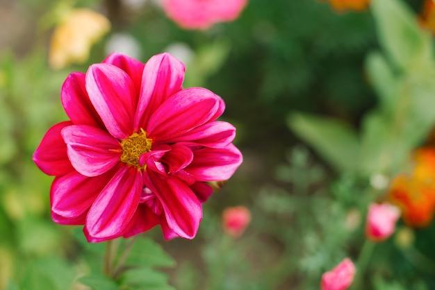 紫のダリアの花は夏の庭でクローズアップ