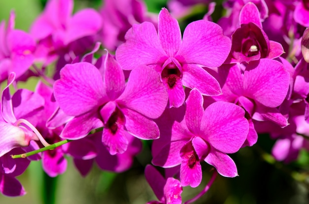 Purple denerobium orchids in tropical garden.