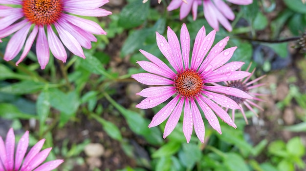 Purple echinacea flower in a garden.
