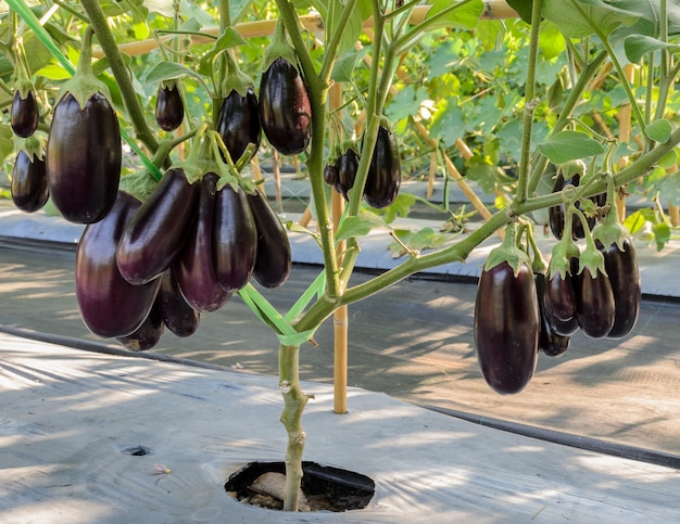 Purple eggplant on its tree in greenhouse