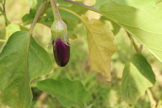 Purple eggplants in nature