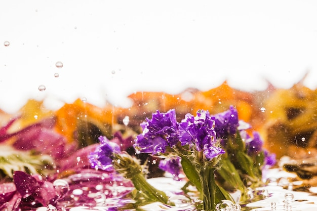 Purple evergreen falling into water