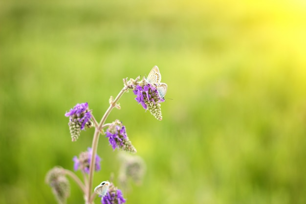 Purple field flower with blue butterfly, with soft sunlight