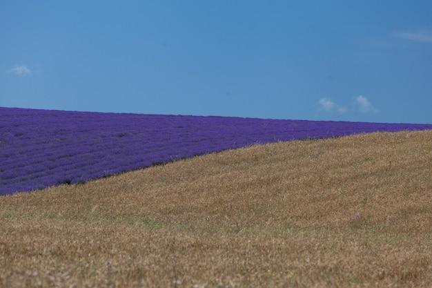 Пурпурное поле с цветущей лавандой на холме граничит с пшеничным полем. голубое небо с облаками на горизонте. селективный фокус, элемент дизайна.