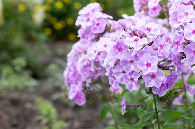 Purple flame flowers of phlox (phlox paniculata).