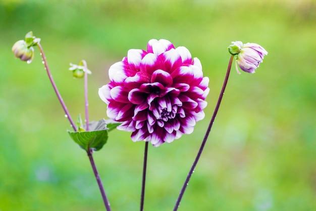 淡い緑のぼやけた背景にダリアの花