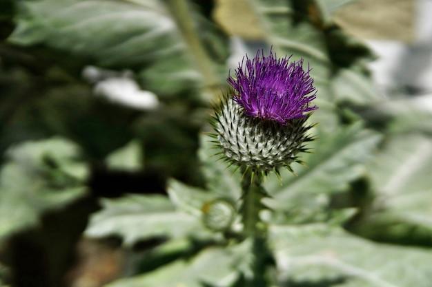 草の中に生えているアメリカオニアザミと呼ばれる紫色の花