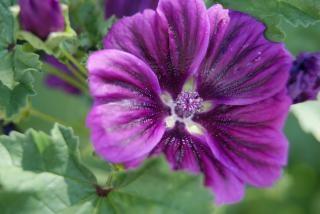 紫の花、脆弱性