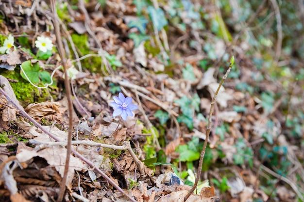 森に生える紫色の花、ミスミソウの花